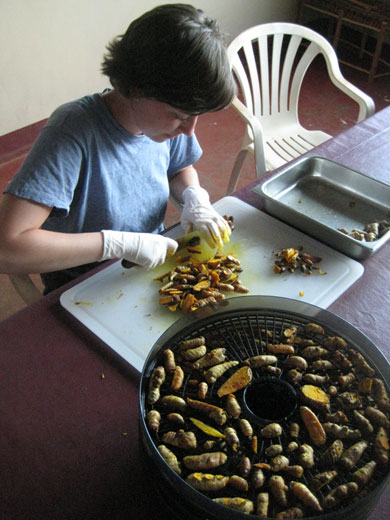 HIC volunteer Amanda Masters prepares cured turmeric for the dehydrator.