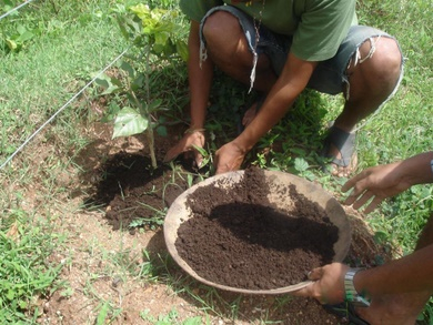 Vermicompost is mixed into the soil at the base of each pongamia tree.